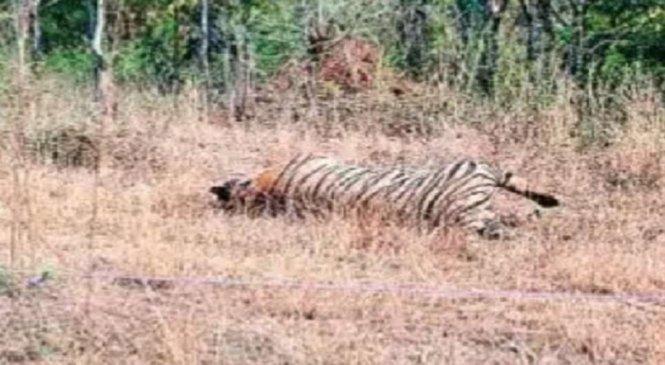 चित्रकूट के जंगल में दो बाघों में संघर्ष, एक की मौत